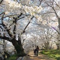 桜sakura.桜さんぽ。