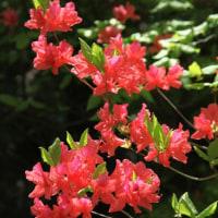 オンツツジの花 Ⅱ