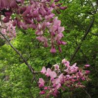 近所の藤の花が咲きました(╹◡╹)