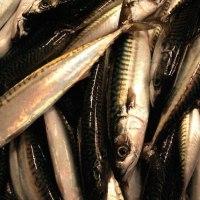 サバ漁獲枠を増加   アイスランド