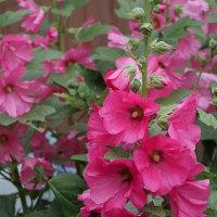 今年の梅雨の花(立葵)