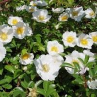 白花は初夏の色