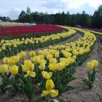 5月23日(火曜日)「チューリップ畑」(あかねこさん)