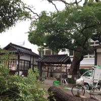 大枝神社の楠 大きく枝払い