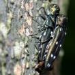 アシグロツユムシ幼虫