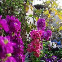 庭の、ストックが咲いた 2017