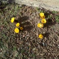 寒い中にも春の証福寿花がが咲きました。