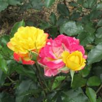 奈良 霊山寺の「バラ園」
