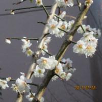 2017.2.28(火) 蕗の薹(ふきのとう)が出る 梅が咲く
