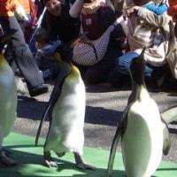 上野動物園でペンギンのウォーキングを見る