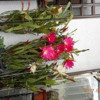 近所の花の名人の家の花!!