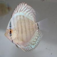 ブルーベリーR幼魚の販売を本日より開始いたします。