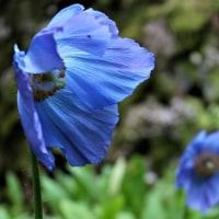 ヒマラヤの青いケシが咲いていました~皿ヶ嶺・風穴