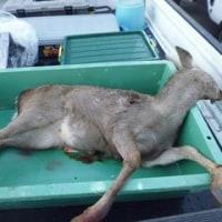 12月11有害鳥獣捕獲「鹿」