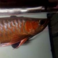 アルディカ発色サンプル魚、聖。