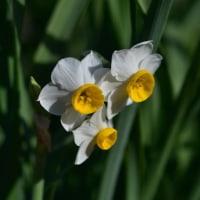 まだまだ、スイセンの花もたくさん咲いています。 (Photo No.13990)