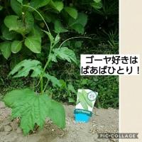 あお君ちとばあばんちの夏野菜の植え付け♪