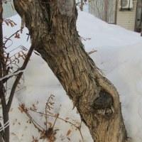 冬芽の観察113ムラサキハシドイ