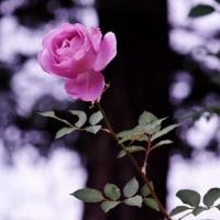 明日から・・秋バラ