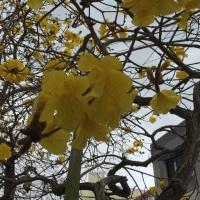 イッペーの花が咲いていますよ。