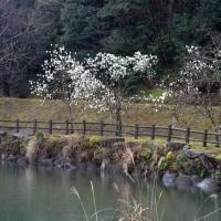 桜の開花遅れる 観音ケ池 2017/03/25 (鹿児島)