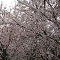 この桜の木の下で