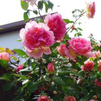 バラが咲くころから強くなります。