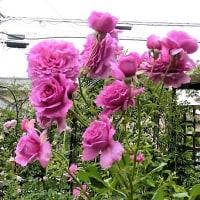 ♪「バラの花」~カレル・チャペック「園芸家の12ケ月」♪