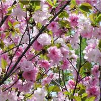 さくら・桜・SAKURA (本日、都心の桜に開花宣言=気象庁)