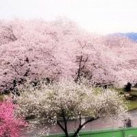 浅川堤の桜 6