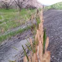 2017.4.28 雫石川園地の桜