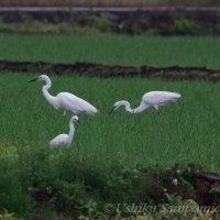 小雨の水田で採餌する「サギ」たち