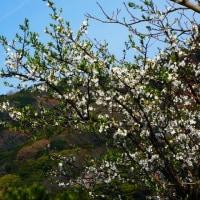 『花便り』 山桜