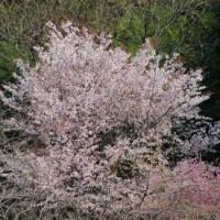 群馬県甘楽郡下仁田町の妙義山系麓では、ソメイヨシノが花をまだ咲かせています