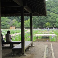 「平成29年 東村山 菖蒲まつり」