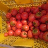 トマト収穫ピーク