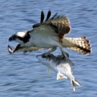 獲魚のミサゴ アオサギに追われる