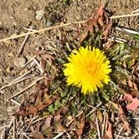 タンポポの花が地面に開いて