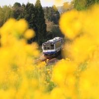 黄色に染まる のと鉄道