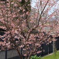 【京都園芸倶楽部Facebook】先週の植物(2017年3月5日~11日)