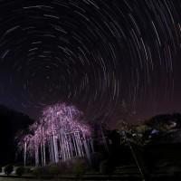 満開の三春の滝桜