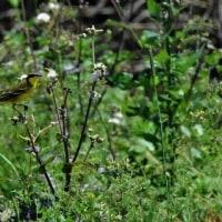 今日の鳥見:ツメナガセキレイ
