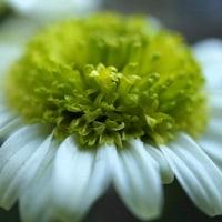 ミニシクラメンと菊