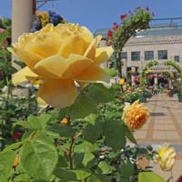 フラリエのバラ