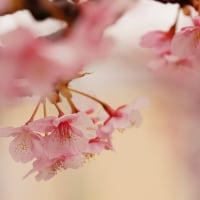 安行桜 (花 4303)
