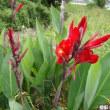 おはようの花 [カンナ赤]
