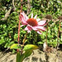 Echinacea Still Blooming