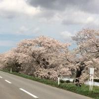 桜、岩木山、岩木川