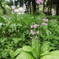 四季の花 我が家の九輪草 2017