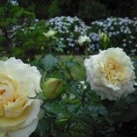 梅雨空でも 咲いてます。バラの花